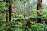 Forêt tropicale, Bunyip State Park, Victoria, Australie, Pacifique