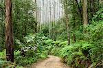 Route à travers la forêt tropicale, le Parc National des Yarra Ranges, Victoria, Australie, Pacifique