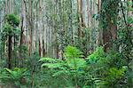 Forêt, Parc National des Yarra Ranges, Victoria, Australie, Pacifique