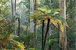 Fougères arborescentes, Parc National des Yarra Ranges, Victoria, Australie, Pacifique