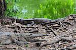 Crocodiles d'eau douce, Northern Territory, Australie, Pacifique
