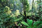Forêt tropicale, les monts Dandenong, Victoria, Australie, Pacifique