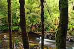 Forêt tropicale et la rivière de Surprise, Parc National Franklin-Gordon Wild Rivers, Tasmanie, Australie, Pacifique