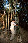 Bamboo harvest, Luang Nam Tha, Laos, Indochina, Southeast Asia, Asia