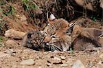 Mère de Bobcat (Lynx nufus) avec des chatons âgés de 21 jours, en captivité, grès, Minnesota, États-Unis d'Amérique, l'Amérique du Nord