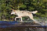 Loup gris (Canis lupus) en cours d'exécution par le biais de l'eau, en captivité, Minnesota Wildlife Connection, grès, Minnesota, États-Unis d'Amérique, l'Amérique du Nord