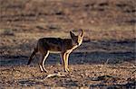Chacal à chabraque (Canis mesomelas), Kgalagadi Transfrontier Park, Afrique du Sud, Afrique