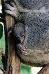 Baby koala bear (Phascolarctos cinereus) in pouch, Brisbane, Queensland, Australia, Pacific