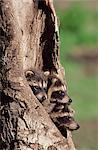 Ratons laveurs (raton laveur) (Procyon lotor), les jeunes âgés de 41 jours en captivité, grès, Minnesota, États-Unis d'Amérique, l'Amérique du Nord