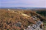 Bruyères, l'habitat du tétras, Parc National de Yorkshire Dales, Yorkshire, Angleterre, Royaume-Uni, Europe