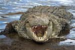 Nile crocodile (Crocodylus niliticus) on shore of Mara River with open jaws, Masai Mara National Reserve, Kenya, East Africa, Africa