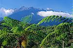 Fougères arborescentes en premier plan, le massif granitique de 4101m Mont Kinabalu en arrière-plan, l'île de la montagne, Sabah, plus haut d'Asie du sud-est de Bornéo, en Malaisie