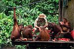 Remis en état les orangs-outans de la forêt se nourrissent à Sepilok orang-utan sanctuaire dans la pointe nord de Bornéo, Sabah (Malaisie), l'Asie du sud-est, Asie