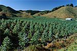 Tree plantation north of Rotorua in the Bay of Plenty region, North Island, New Zealand, Pacific