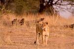Lionne, Parc National de Ruaha, Tanzanie