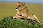 Lionne sur la termitière, Masai Mara, Kenya