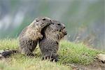 Young Alpine Murmeltiere