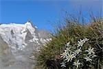 Edelweiss avec Grossglockner en arrière-plan, Hohe Tauern, Autriche