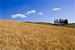 Champ de blé, Val d'Orcia, Sienne, Toscane, Italie
