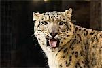 Léopard (Panthera pardus)
