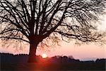 Silhouette der Eiche bei Sonnenaufgang, Nordrhein-Westfalen, Deutschland