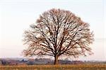 Chêne dans le champ, Rhénanie du Nord-Westphalie, Allemagne