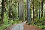 199 Vieux Séquoia Plank Road dans le parc d'état Jedediah Smith, forêt de séquoias, Northern California, Californie, Etats-Unis