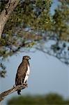 Martial Eagle, Masai Mara, Kenya