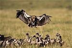 Troupeau de vautours, Masai Mara, Kenya