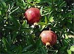 Fresh and Ripe Pomegranate on Tree