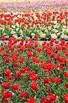 Tulip Flowers Growing in Field