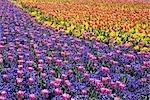 Field of Tulip Flowers in Nabanano Village, Japan