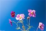 Cosmos Flowers against Blue Sky