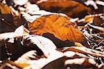 Japanese Dead Oak Leaf