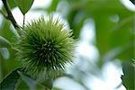 Burdock Herbal Flower