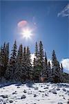 Snow-Caped Trees Shining
