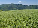 Buckwheat Field Nakatado,Kagawa Prefecture