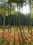 Amaryllis Flowers at Miki-Cho Kita,Kagawa Prefecture