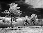 DES ANNÉES 1960 LES PALMIERS PANORAMIQUES TROPICALES SOUFFLANT EN TEMPÊTE FLORIDA KEYS