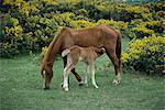 New Forest Pony und Fohlen, Hampshire, England, Vereinigtes Königreich, Europa Spanferkel