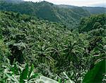 Coconut plantation, St. Lucia, Windward Islands, West Indies, Caribbean, Central America