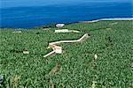 Banana plantations, Tenerife, Canary Islands, Spain, Atlantic, Europe