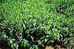 Tea bushes, Mauritius, Africa