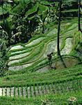 A farmer walking through lush rice terraces on Bali, Indonesia, Southeast Asia, Asia
