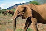 Éléphant, réserve nationale de Samburu, Kenya, Afrique de l'est, Afrique