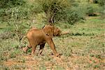 Jeunes éléphants, Samburu National Reserve, Kenya, Afrique de l'est, Afrique