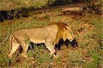 Lion, Samburu National Reserve, Kenya, East Africa, Africa