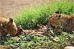 Cheetah manger des proies, Parc National d'Amboseli, Kenya, Afrique de l'est, Afrique