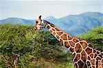 Reticulated giraffe, Samburu National Reserve, Kenya, East Africa, Africa