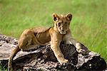 Lionceau, Masai Mara National Reserve, Kenya, Afrique de l'est, Afrique